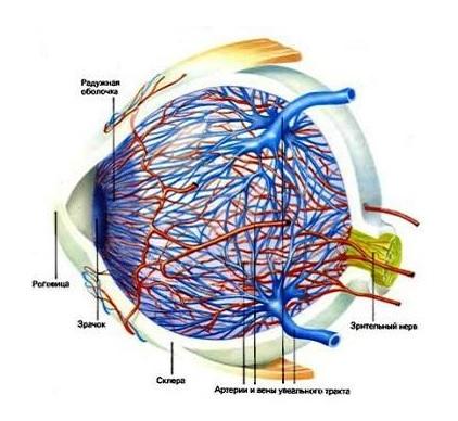 Кровеносные сосуды в глазу.jpg